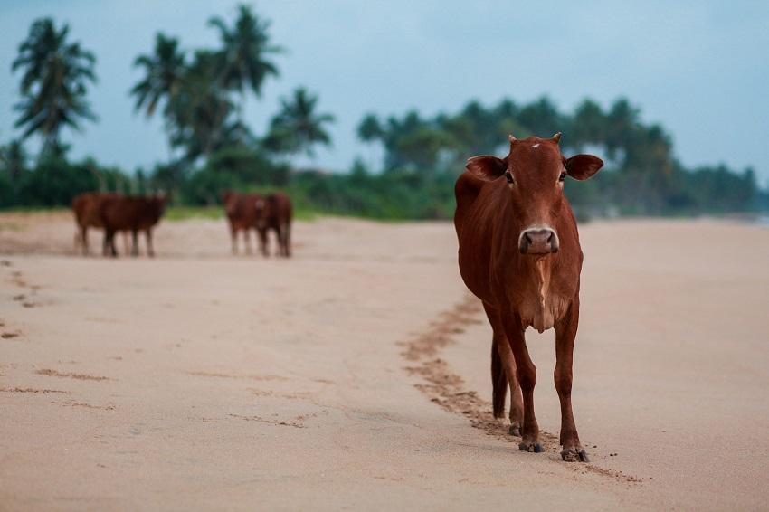 Vache indienne sur la plage